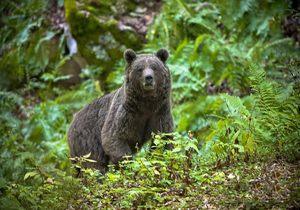 خرس از گونه های پارک ملی کیاسر